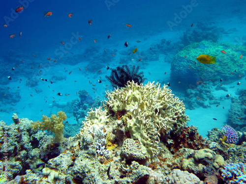 coral reef with  crinoid in tropical sea, underwater