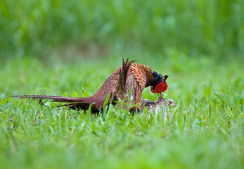 Male and female pheasant making love