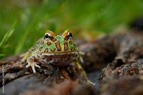 Fotobehang Kikker frog pacman(ceratophrys ornata)