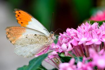 Aurorafalter, Orange Tip, (Anthocharis cardamines) (Male)