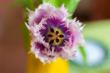 Close-up purple tulip in garden on  bokeh background. Outdoor
