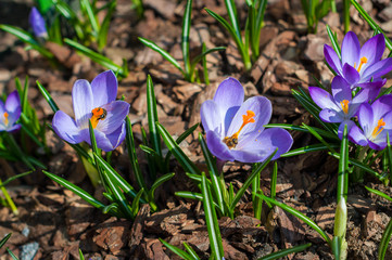 Close-up purple crocuses in garden with young green grass
