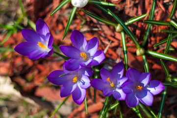 Close-up violet crocuses in garden with young green grass