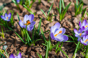 Close-up purple crocuses in garden with bees. Outdoor, spring