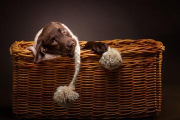 braune labrador retriever welpe