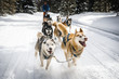 canvas print picture - sled dogs