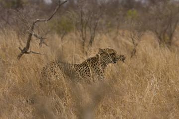 wild cheetah in savannah, Kruger, South Africa