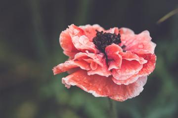 blooming red poppy flower