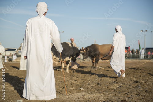 Bullfight in the Fujairah corniche, United Arab Emirates