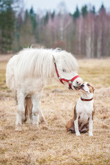 Little pony kissing american staffordshire terrier puppy