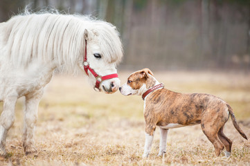 Little shetland pony and american staffordshire terrier puppy