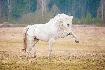 Beautiful white horse playing outdoors