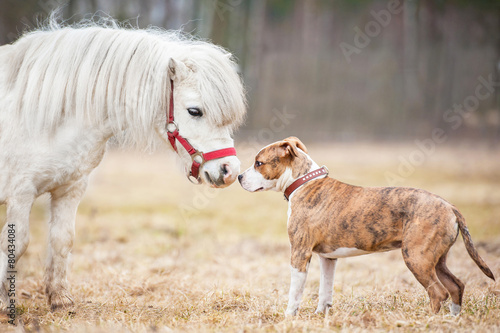 Little shetland pony and american staffordshire terrier puppy - 80434084
