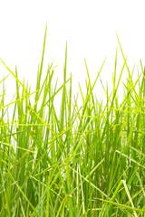 touffe d'herbe sur fond blanc
