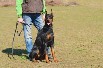 Doberman Pinscher with owner