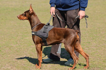 Brown Doberman Pinscher with owner