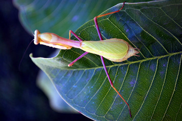 A jumping grasshopper, LA Zoo, California