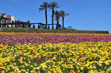 Lined up flowers, Flower Field, California