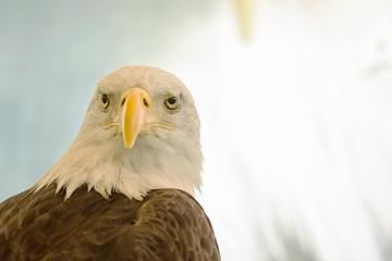 White-Head Eagle, Bald Eagle