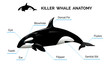 Killer Whale Anatomy - 80437006
