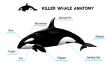 Fototapety Killer Whale Anatomy