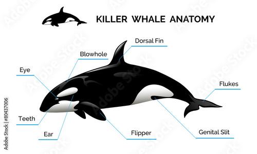 Killer Whale Anatomy - 80437006