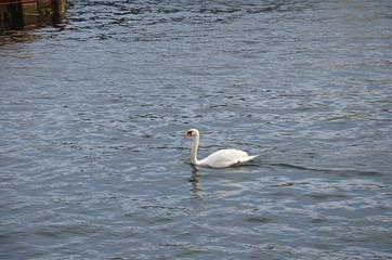Swan at Copenhagen Channel