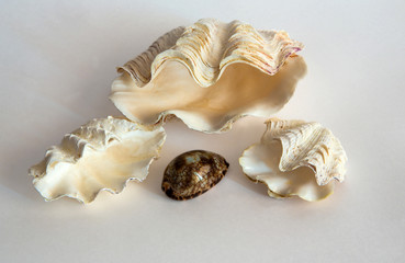 The composition of giant clam shells on a light  background