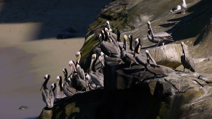 Brown Pelican Colony on Cliff