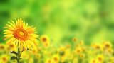 Fototapety Sunflowers on green background