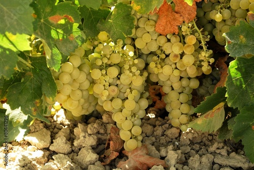 Tuinposter Wijngaard Ripe grapes on the vine, Spain © Arena Photo UK