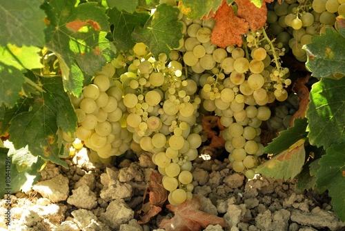 In de dag Wijngaard Ripe grapes on the vine, Spain © Arena Photo UK
