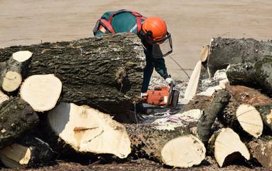 Lumberjack is sawing a tree trunk