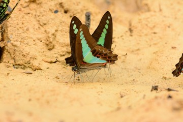 Common Bluebottle butterfly (Graphium sarpedon)