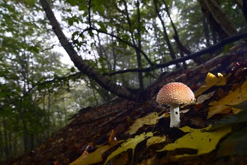 mushroom in the woods - Amanita muscaria, fly agaric