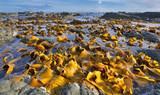 Kelp Bed at Low Tide - Coastline near Kaikoura, New Zealand