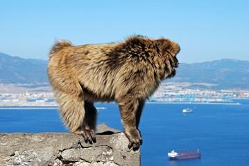 Large Barbary Ape, Gibraltar © Arena Photo UK