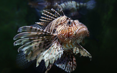 Close-up view of a common lionfish (Pterois miles)