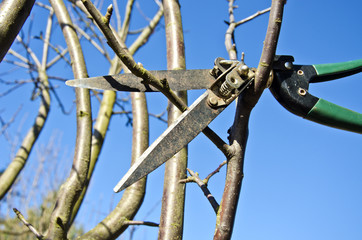 cut  prune apple tree branch in spring with scissors tool