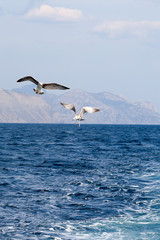 two seagulls soaring over the sea