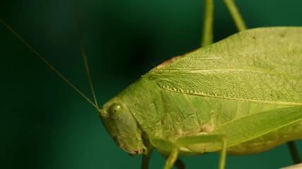 Large Grasshopper Side
