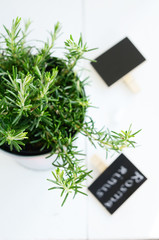Rosemary in a planter on white board background