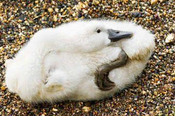 cygnet resting on the lake shore