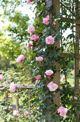 パーゴラに仕立てたバラ