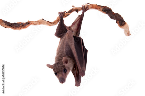 Foto op Canvas Afrika Egyptian fruit bat isolated on white