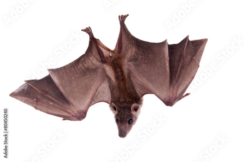 Canvas Afrika Egyptian fruit bat isolated on white