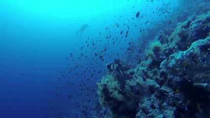 School of fish near the corals, Red Sea