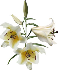 three isolated white and yellow lily flowers
