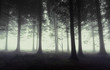 gloomy forest with fog
