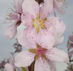 Nectarine flowers in bloom